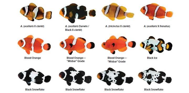 Beberapa Jenis Ikan Badut