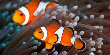 Ikan Badut