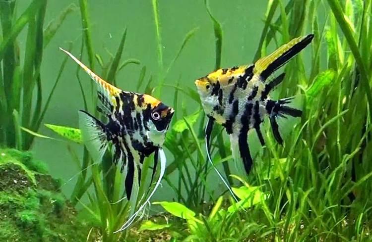 ikan hias marble manfish