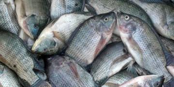 budaidaya ikan nila