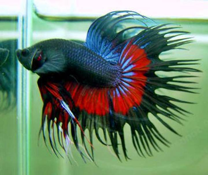 cupang crown tail