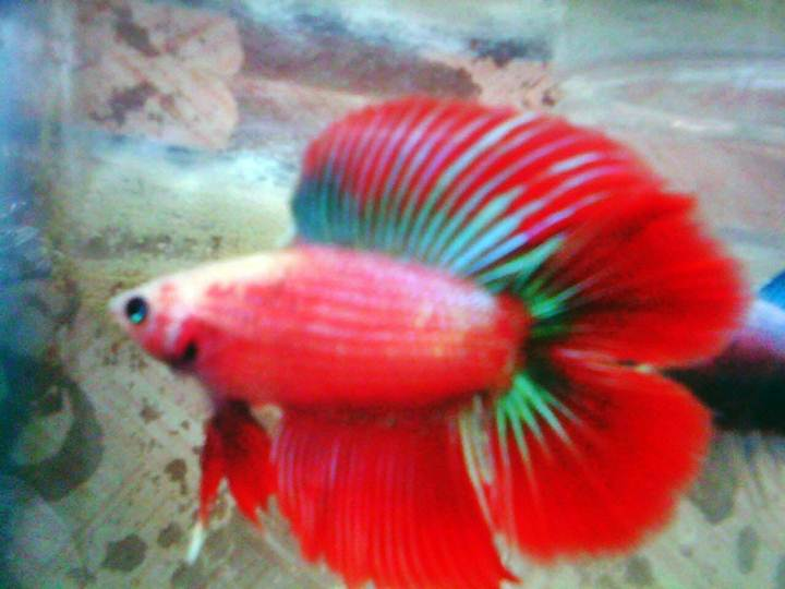 cupang double tail