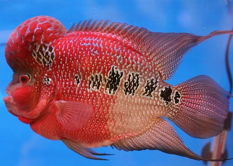 ikan louhan