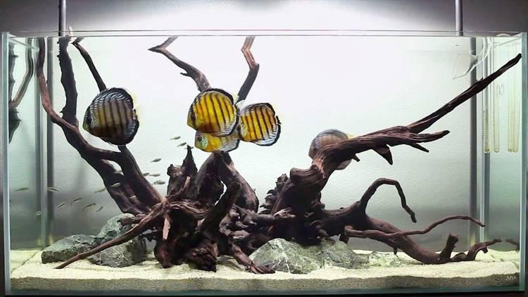 Hardscape Ikan Discus