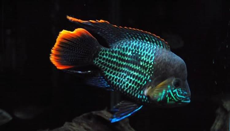 Ikan Green Terror Muda