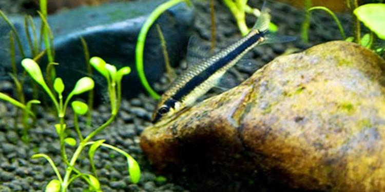 Ikan Pemakan Lumut