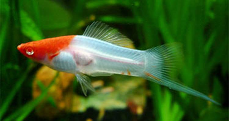 Kohaku Swordtail Fish