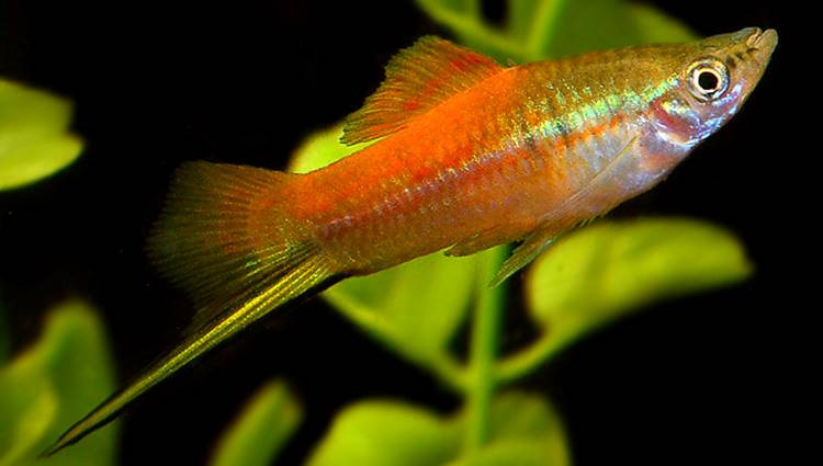 Neon Swordtail Fish
