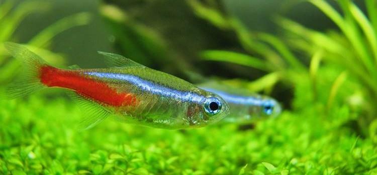 Ikan Neon Tetra