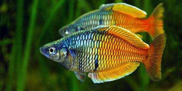 ikan rainbow boesemani