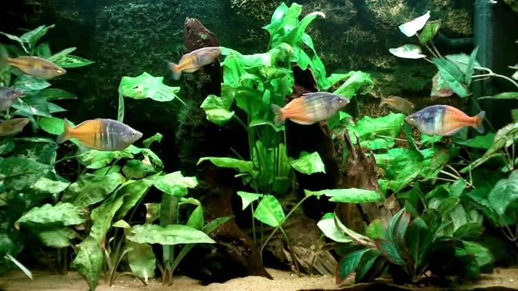 ikan rainbow boesemani akuarium