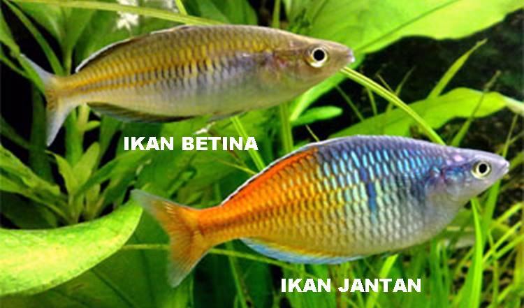 ikan rainbow boesemani jnatan betina
