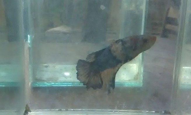 ikan cupang dragon terkena kutil