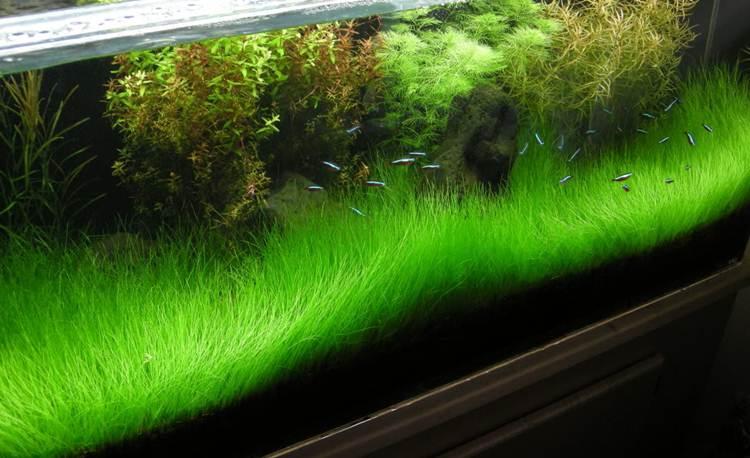 dwarf hair grass