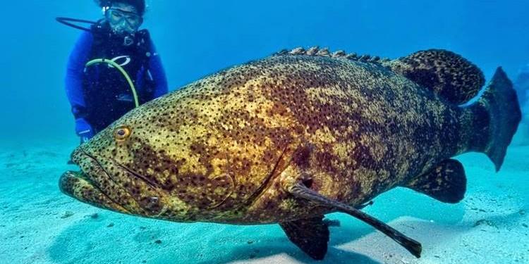 Ikan Kerapu Raksasa