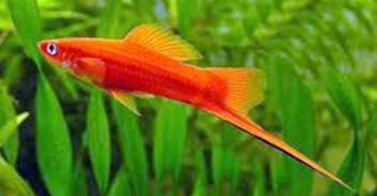 Red Velvet Swordtail Fish