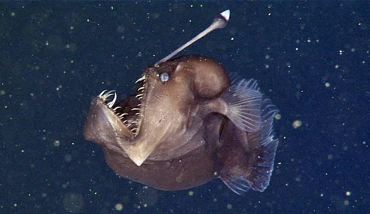 ikan anglerfish