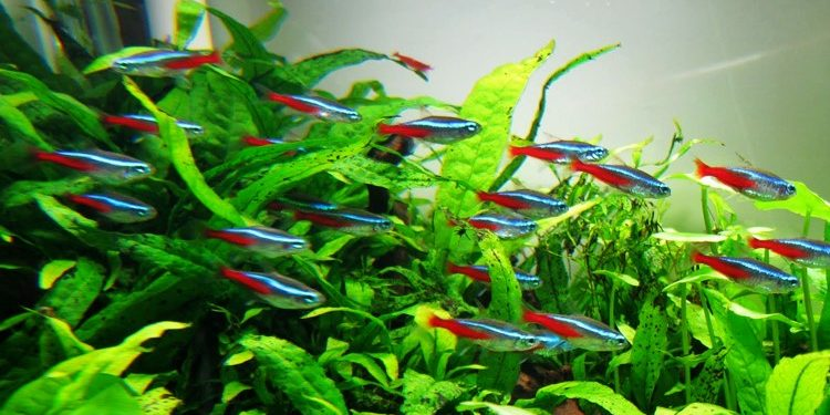 Ikan Terbaik Penghias Aquascape