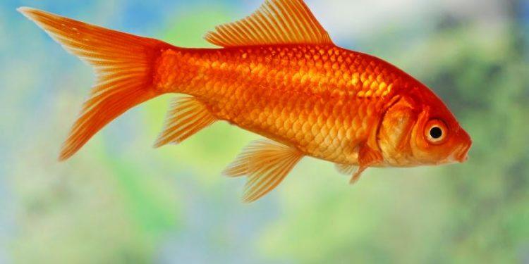 Mengenal Ikan Mas Koki Common Dunia Air