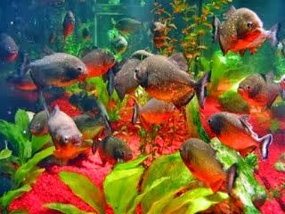 Piranha 4 Dunia Air